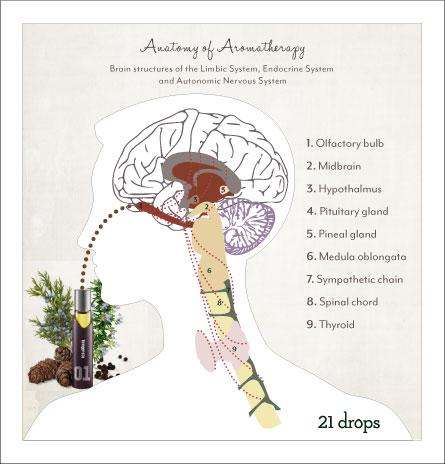 anatomyofaromatherapy