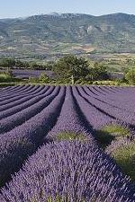 vase lavender