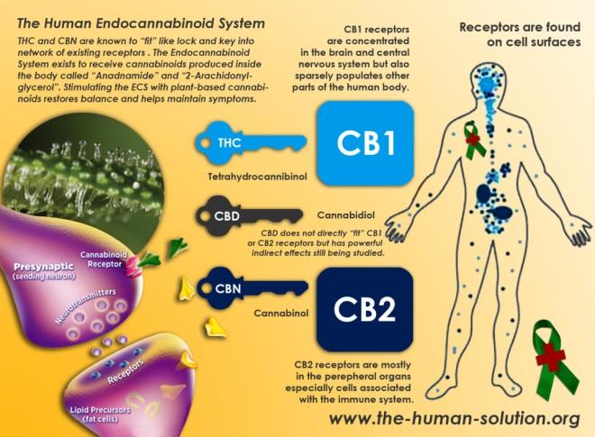 endocannaboid-system