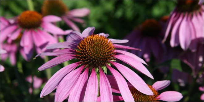 cannabinoid-plants-coneflower