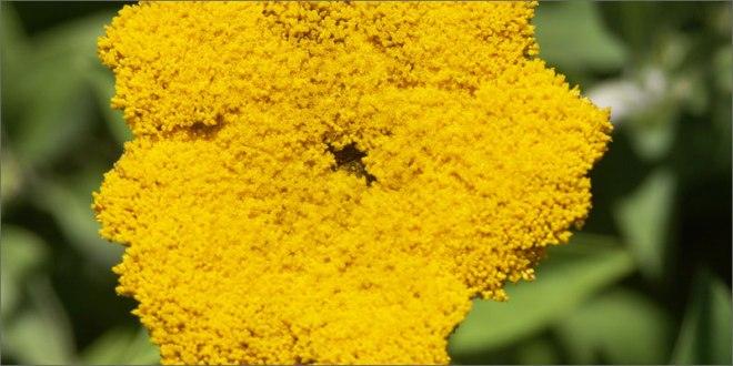 cannabinoid-plants-helichrysum