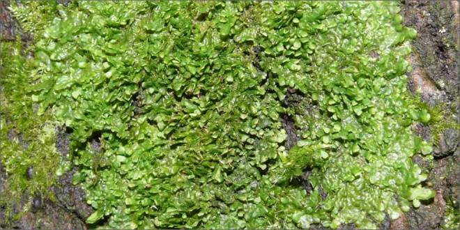 cannabinoid-plants-liverwort