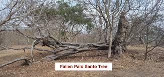 tree palo santo