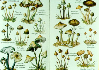 22-24_hallucinogenic_agarics