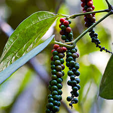 black pepper plant