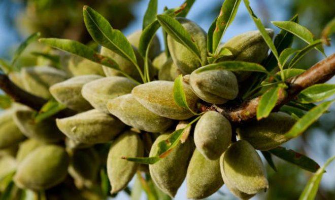 almond-tree-700x419