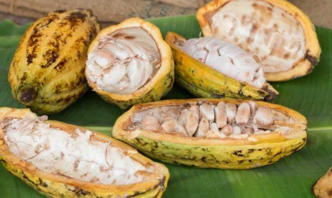 cacao-pods-700x419