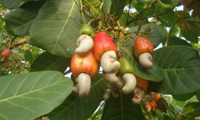 cashews-700x419