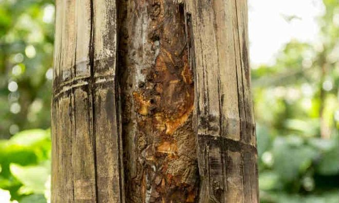 cinnamon-tree-trunk-700x419