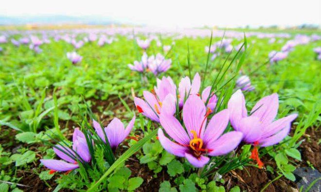 saffron-700x419